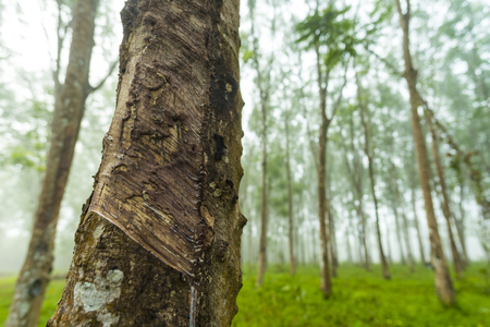 Rubber plantation for Asian tire industry Stock Photo
