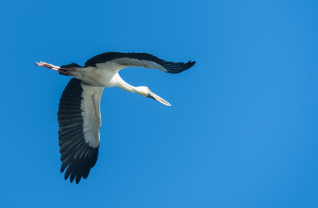 Open-billed stork, Asian openbill
