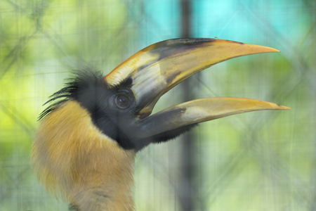 Great hornbill in the cage Stock Photo