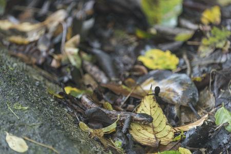Mountain Pit Viper, wild snake