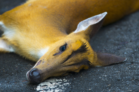 An accident occurred on Barking Deer on the road in Khao Yai National Park Reklamní fotografie