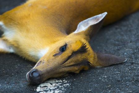 Een ongeluk gebeurde op Barking Deer op de weg in Khao Yai National Park