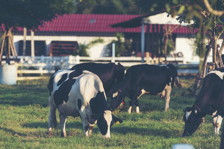 Dairy cattle in Dairy farm