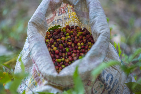 coffee bean in sack