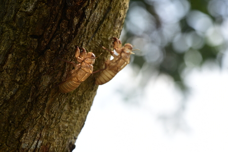 Cicada in the wildlife nature habitat using as a background or wallpaper. Cicada insect stick on tree in tropical forest 스톡 콘텐츠