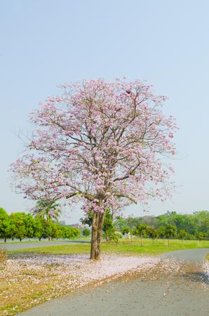 Tabebuia rosea in thailand Stock Photo