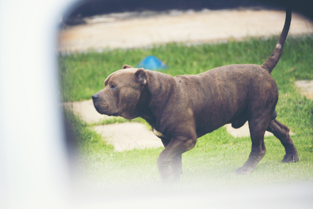 old Black French Bulldog