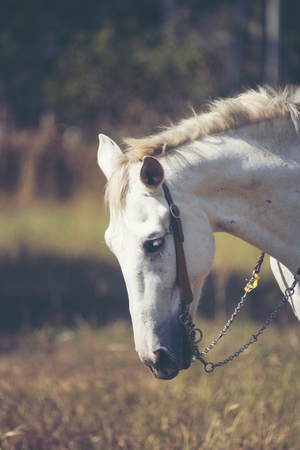 Portrait of a white horse in farm