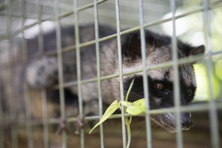 eye of civet, civet in cage