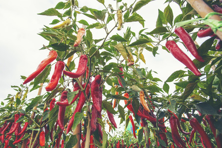 Chili in the plot pushed free of chemicals.