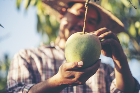 Farmers are checking mango quality.