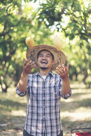 Young Asian farmer picking mango fruit in organic farm