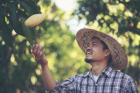 Young smart farmer, mordern mango farm, Thailand fruit 版權商用圖片
