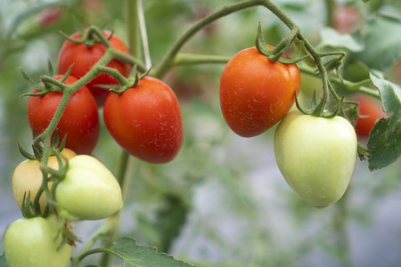 Tomatoes that are cultivated in modern green houses Industrial agriculture system Stock Photo