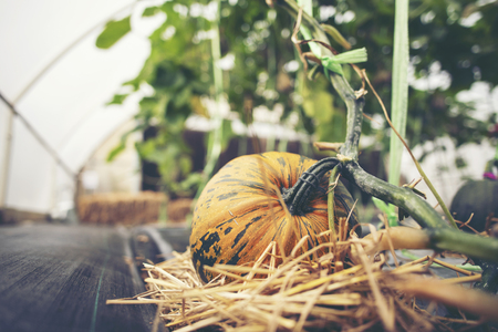 A giant pumpkin sits on the grass at a local produce farm. In the background is a farm wagon loaded with pumpkins and gourds