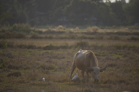 water buffalo in paddy field at sunset