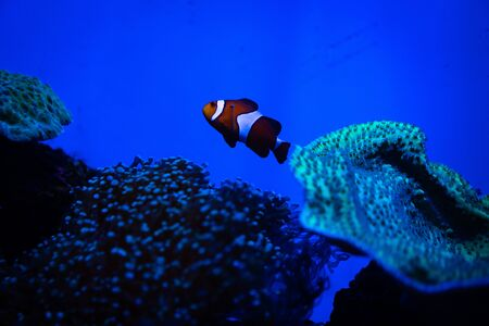 Nemo fish are swimming with beautiful corals.