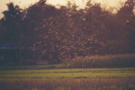 many small birds flying on the paddy field Stock Photo