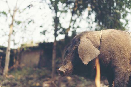 black pig in local farm, Thailand