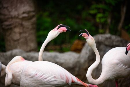 pink flamingo : the Greater Flamingo is the most common and widespread member of the flamingo family. Фото со стока