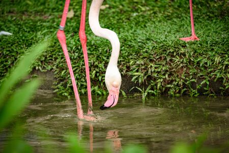 white flamingo family living in nature