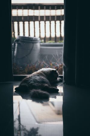 cat sitting alone and look out at the door, himalayan cat Stock Photo