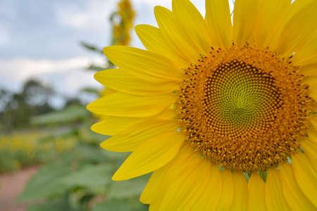 sunflower field: sunflowers