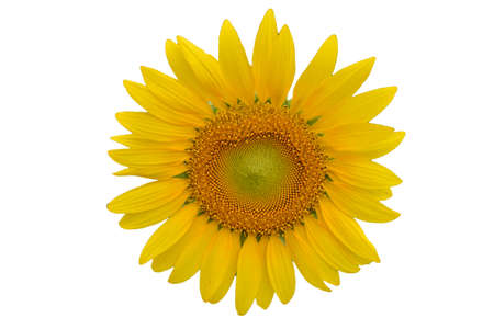 Sunflower on a white background. photo