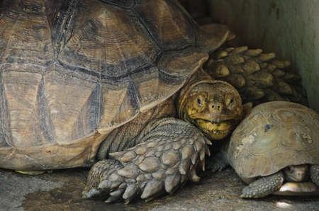 elongated: Elongated Tortoise