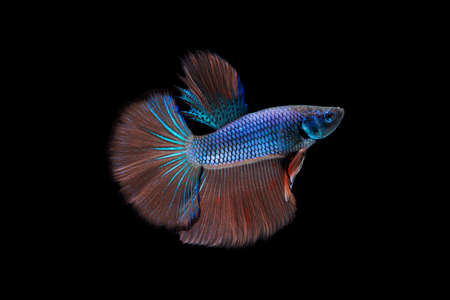 splendens: Betta fish, siamese fighting fish, betta splendens on black background with clipping path. Stock Photo