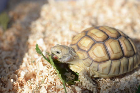 kine: Young Sulcata Tortoise. Kine of turtle species,African spurred tortoise.
