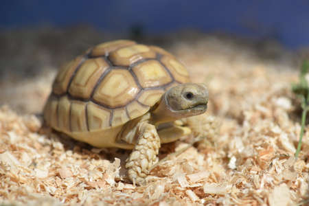 spurred: Young Sulcata Tortoise. Kine of turtle species,African spurred tortoise.