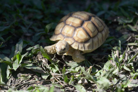 species: Young Sulcata Tortoise. Kine of turtle species,African spurred tortoise.
