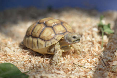 sulcata: Young Sulcata Tortoise. Kine of turtle species,African spurred tortoise.