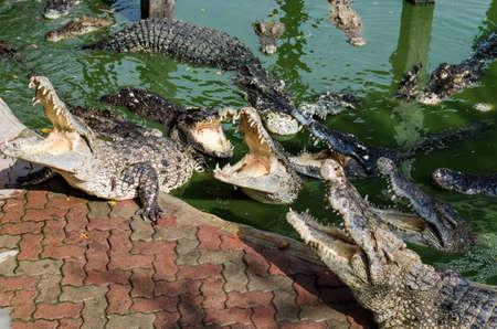 freshwater: Freshwater crocodile or alligator or crocodile swamp.