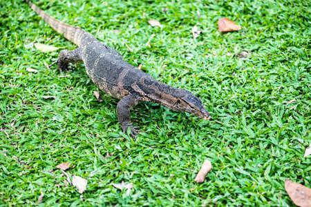 salvator: water monitor lizard varanus salvator