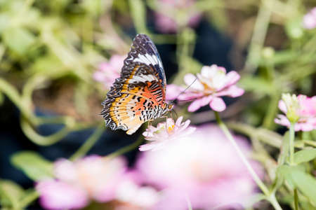 lacewing: Close up of male leopard lacewing Cethosia cyane euanthes butterfly perching on zinnia flower