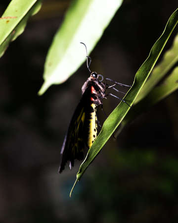Golden Birdwing butterfly Troides aeacus perched on a leaf.