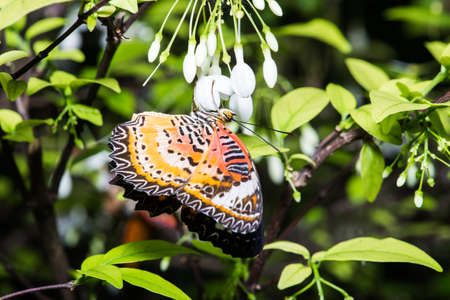 lacewing: Leopard lacewing Cethosia cyane euanthes butterfly resting on plant. Stock Photo