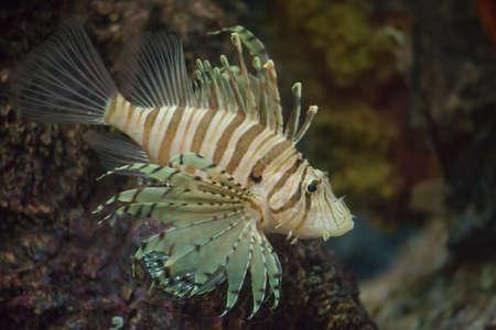 turkeyfish: lion fish scuba diving snorkeling animal aquarium reef coral underwater nature wildlife ocean