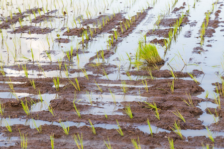 paddy field: paddy field rice cereal crop seedlings sprout Stock Photo