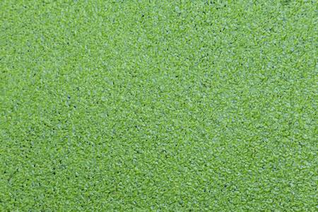 Grüne Entengrütze bedeckten die Wasser Standard-Bild - 41650200