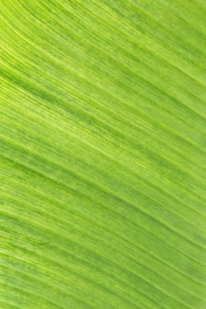 green background pattern: Beautiful fresh banana leaf background Stock Photo