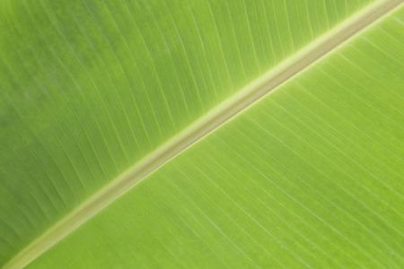 Schöne grüne Bananen Blatt Hintergrund Standard-Bild - 41650208