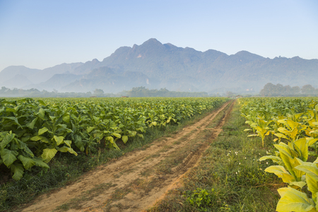 tobacco plants: Beautiful road in the tobacco fields with mountain background