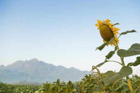 Sunflower in Tabak mit Nebel und Berg Hintergrund Felder Standard-Bild - 44055446