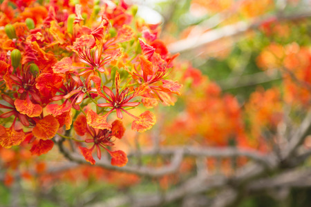 Vibrierende Farben der Flammenbaum Standard-Bild - 44055461