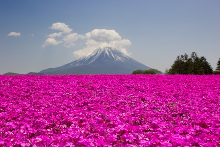 Mt Fuji and pink moss phlox