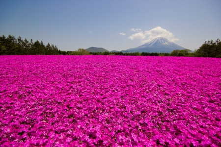 Mt Fuji and pink moss phlox