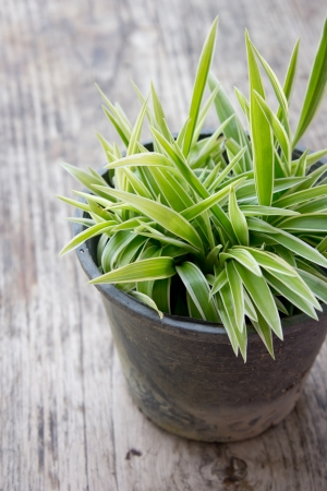 Freshness of chlorophytum Stock Photo - 20340588